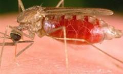 Muỗi hút máu người truyền bênh sốt rét